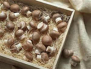 Was Kann Man Im Gewächshaus Anbauen : champignons selber anbauen champignonanbau im garten ~ A.2002-acura-tl-radio.info Haus und Dekorationen