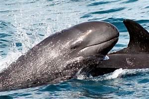 """False Killer Whale – """"OCEAN TREASURES"""" Memorial Library"""