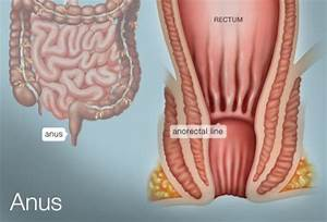 The Anus  Human Anatomy   Picture  Definition  Conditions
