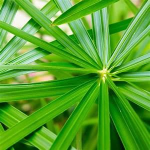 papyrus alternifolius plantes et jardins With photo jardin avec palmier 14 plante et fleur dinterieur tous les fournisseurs