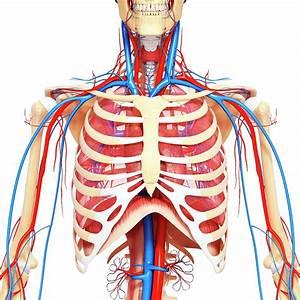 Chest Anatomy Diagram