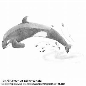 Killer Whale Pencil Drawing - How to Sketch Killer Whale ...