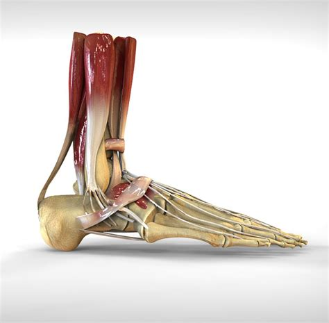 A regional atlas of the human body is sobotta, j. Human Foot Bone and Muscle Structure