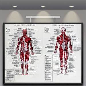 Muscle System Poster Anatomy Chart Human Body Educational