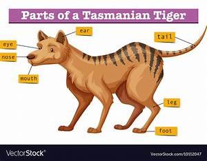 Diagram Showing Parts Of Tasmanian Tiger Vector Image