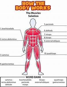 Muscular System Diagram Worksheet Answers