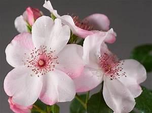 Sweet Pretty Rose : beetrose sweet pretty rosa sweet pretty g nstig online kaufen ~ A.2002-acura-tl-radio.info Haus und Dekorationen