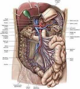 Superior Mesenteric Vein Anterior View  Partially Removed  Stomach  Pancreas  Peritoneum
