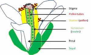 Schematic Representation Of An Arabidopsis Thaliana Open