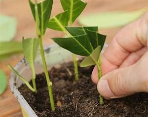 Magnolien Vermehren Durch Stecklinge : 85 besten vermehrung bilder auf pinterest gelassenheit ~ Lizthompson.info Haus und Dekorationen