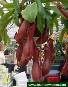 Fleischfressende Pflanze Pflege : nepenthes kannenpflanze ~ A.2002-acura-tl-radio.info Haus und Dekorationen