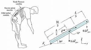 Solved  When You Bend Over At The Waist  Large Forces Are