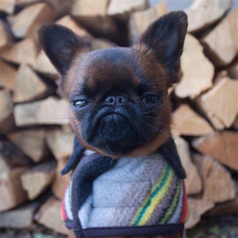 Meet Gizmo, The Grumpy Dog Who Looks Like He's Always ...