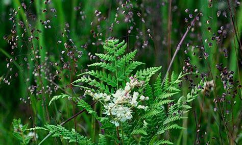 Auglības svētki- papardes zieda noslēpums - Jaunumi ...