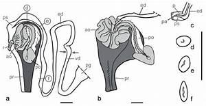 Planorbarius Corneus   Schematic Diagrams Of Copulatory