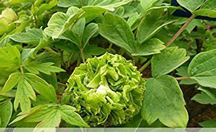 Solution Seeds Farm 5 Seeds / Pack, Heirloom Green Chinese ...