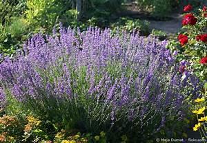 Lavendel Wann Schneiden : lavendel richtig schneiden und pflegen garten hausxxl ~ Lizthompson.info Haus und Dekorationen