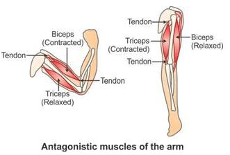 Managing tendon pain programme in tendons making the correct diagnosis when tendons are involved is essential to. Selina Concise Biology Class 9 ICSE Solutions Movement And Locomotion - A Plus Topper # ...