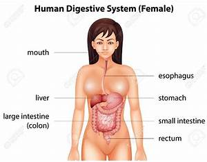 Digestive System Anatomy Archives - Page 3 Of 11