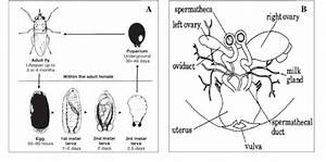 A  Life Cycle Of The Tsetse Fly   B  Viviparous