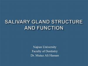 Salivary Gland Structure And Function