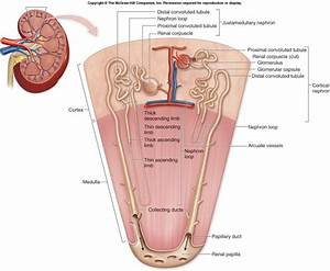Dentistry And Medicine  Blood Supply To The Kidneys
