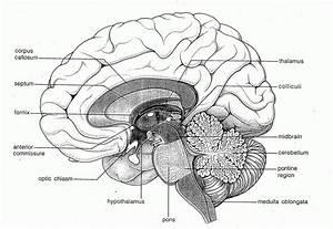 Detailed Blank Brain Diagram