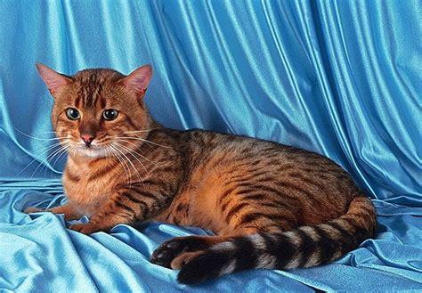 Gribu Bengālijas kaķi.