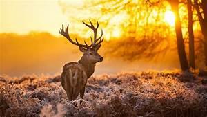 Wallpaper Deer, 4k, HD wallpaper, wild, sun, yellow ...  Wild