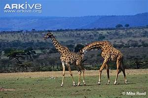 Giraffe Mating | www.pixshark.com - Images Galleries With ...
