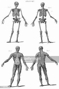 Diagram Of The Human Body Photos And Premium High Res