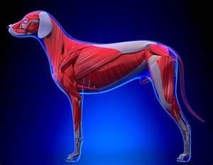 A Visual Guide To Dog Anatomy  Muscle  Organ  U0026 Skeletal