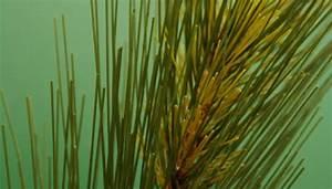 Do Pine Trees Reproduce Asexually