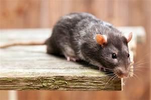 Wie Wird Man Mäuse Im Haus Los : herbstzeit ratten und m use verziehen sich in geb ude ~ Lizthompson.info Haus und Dekorationen