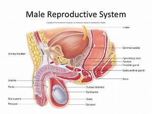 Image Result For Male Reproductive System