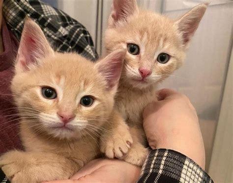 พี่น้องแมวส้มตัวติดกันตลอดเวลา หลังจากมีคนใจดีเข้าไป ...