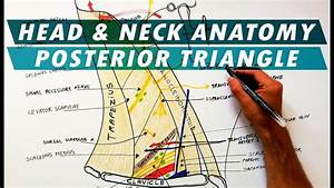 The Posterior Triangle Of The Neck