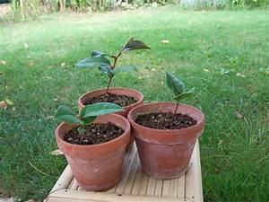 Comment Planter Un Camélia : comment planter des graines de camelia trucs et techniques forums parlons bonsai ~ Melissatoandfro.com Idées de Décoration