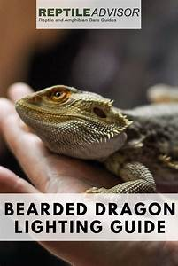 Bearded Dragon Lighting  Everything You Need To Know