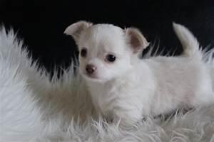 Je Donne Tout Gratuit : donne chiot chihuahua femelle de 4mois a donner gratuit 97122 baie mahault don chiens et chiots ~ Gottalentnigeria.com Avis de Voitures