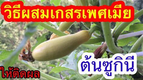 วิธีผสมเกสรดอกซูกินี (Cross-pollinating for zucchini) | ต้นซูกินนีเหลือง | ผักหลังห้องชวนกันปลูก ...