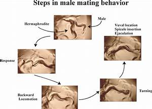 Male Mating Behavior