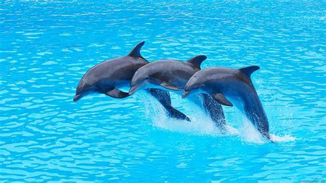 Les dauphins ambassadeurs - Les u00e9manants messagers de la nature