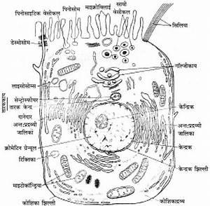 Rbse Solutions For Class 11 Biology Chapter 6  U0915 U094b U0936 U093f U0915 U093e