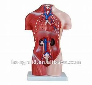 Human Body Model Anatomy Male Sex Torso Model 42cm 13parts