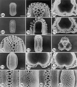 Sem Micrographs Of Pollen Grains Of Polygonella  66 U201368