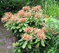 Rhododendron Blüten Schneiden : abgebl hte rhododendron dolden abknicken ~ A.2002-acura-tl-radio.info Haus und Dekorationen