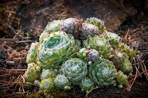 Steinbeet Pflanzen Winterhart : steingartenpflanzen winterhart diese pflanzen vertragen ~ Watch28wear.com Haus und Dekorationen