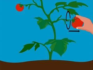 Planter Graine Tomate : faire pousser des tomates partir de graines jardin planter tomates tomates et jardini re ~ Dallasstarsshop.com Idées de Décoration