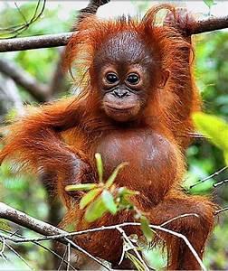 Baby Orangutan Cute | www.imgkid.com - The Image Kid Has It!